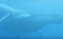 Video - Au plus prés des baleines avec Scubananas Réunion Plongée
